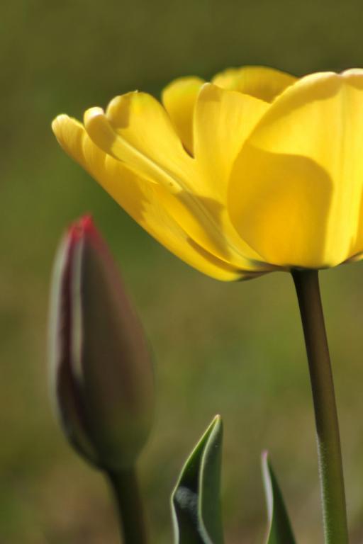 tulipes 1_419